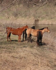 Photo of horses on the river bank.