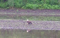 Photo of Bald Eagle in the Minnesota River Valley.