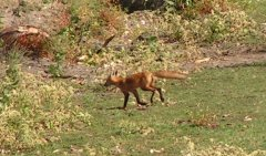 Photo of Fox-by-PLS005_2-2.jpg